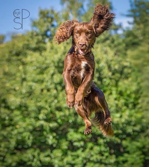 Spaniel Leaping