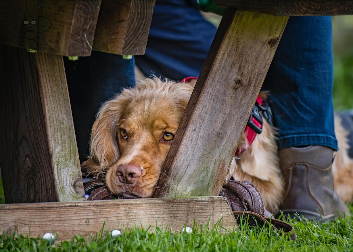 Spaniel Under Table